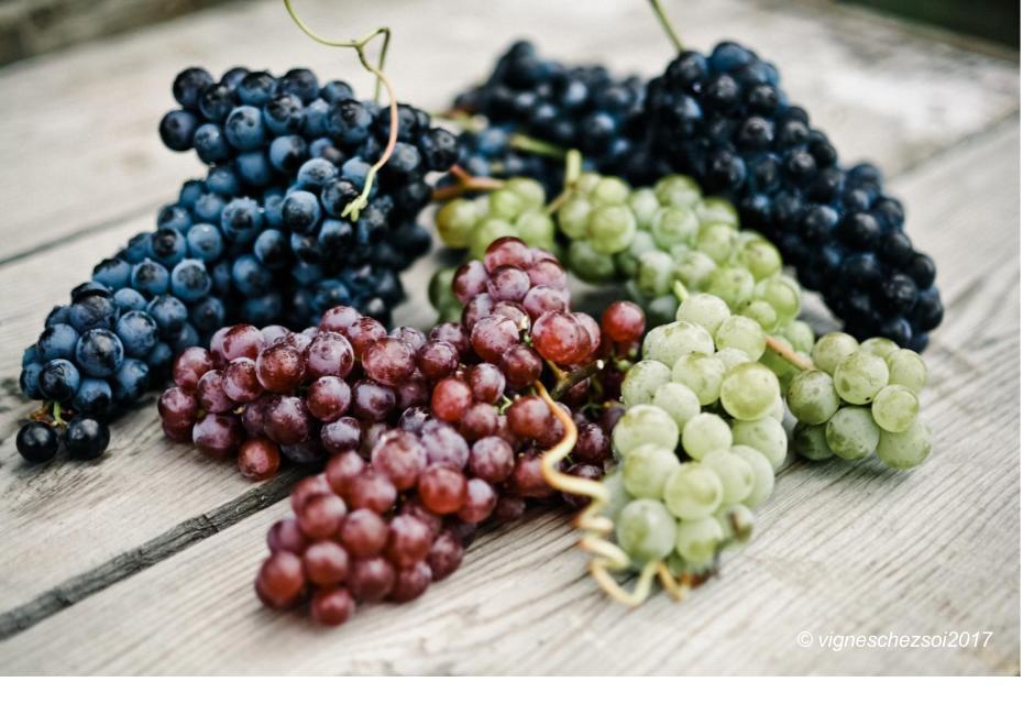 Introduction aux diff rents c pages de vigne de raisin de Planter vigne raisin de table
