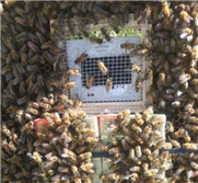 Mass storage of honey bee queens overwintered at different temperatures in Canada