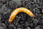 Identification tool for major early season crop pests in Quebec