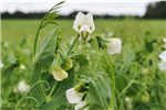 Guide de production des légumes de transformation Pois