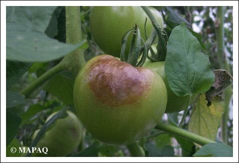 Lgumes tomate partie arienne maladie for Noctuelle de la tomate