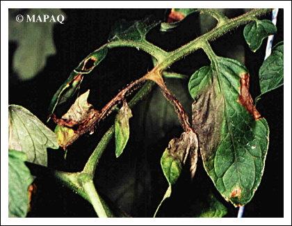 Lgumes tomate partie arienne maladie - Maladie pied de tomate ...