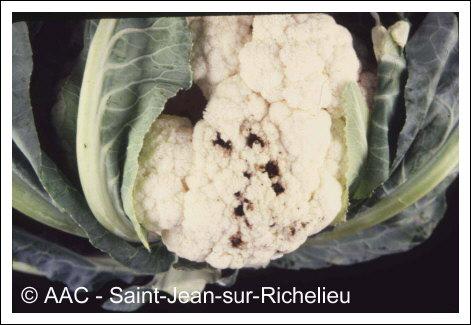 Maladies fongiques des crucifres cultives